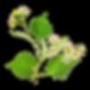 Экстракт цветов липы