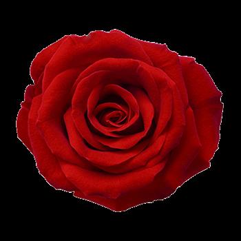 Экстракт розы